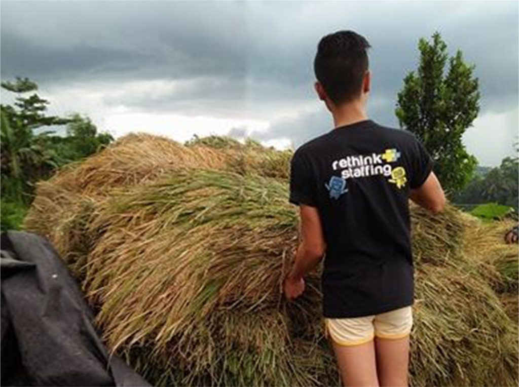 Alemar gathers the freshly cut rice stalks for threshing.
